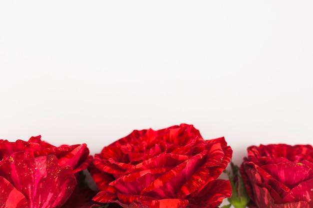 Zakończenie trzy czerwonej róży na dnie biały tło