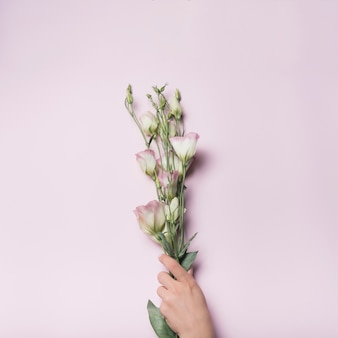 Zakończenie trzyma wiązkę eustoma ręka up kwitnie na różowym tle