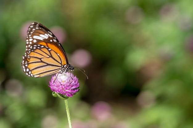 Zakończenie tygrysi motyl na kwiatu tle.