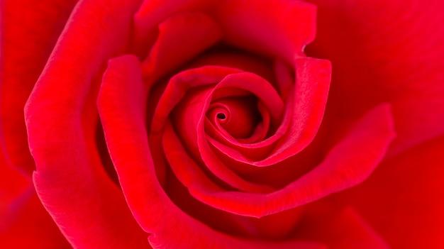 Zakończenie up czerwieni róży kwiat dla tła.