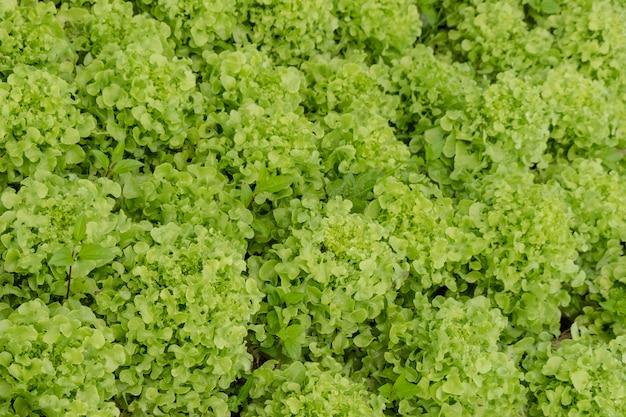 Zakończenie up świeża zielona sałata opuszcza dla tła i tekstury.