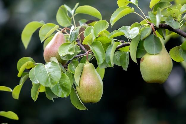 Zakończenie wiązka piękne zielone bonkrety wiesza ripeningng pojęcie.