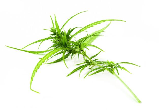 Zakończenie z marihuana pączkami odizolowywającymi na białym tle.