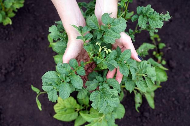 Zakończenie żeńskie ręki trzyma zielone krzaki młode ziemniaki