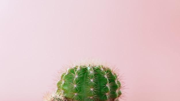 Zakończenie zielony kaktus na różowym tle. minimalna dekoraci roślina na koloru tle z kopii przestrzenią.