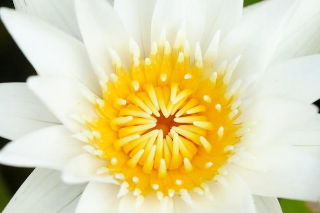 Zakończenie żółty pollen biały lotos w stawie, buddyzmu symbol