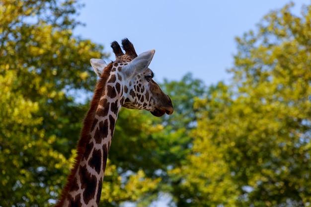Zakończenie żyrafa przed niektóre zielonymi drzewami, tak jakby mówić