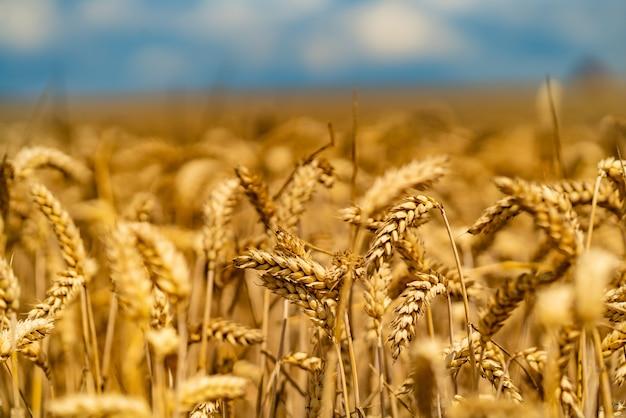 Zakrzywione łodygi pszenicy dojrzewają na słońcu latem w polu