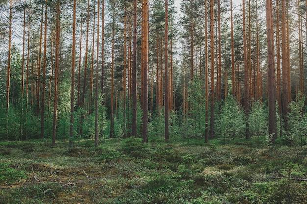 Zalesione drzewa leśne podświetlone złotym światłem słonecznym przed zachodem słońca, a promienie słoneczne przenikające przez drzewa na dnie lasu oświetlające gałęzie drzew