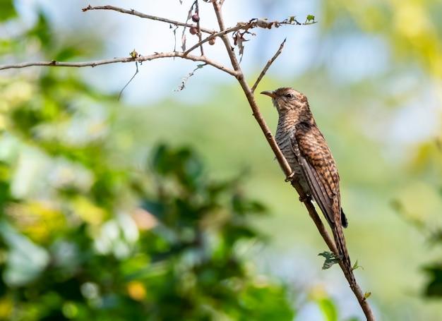 Żałosna kukułka przysiadła na gałęzi w tajlandii
