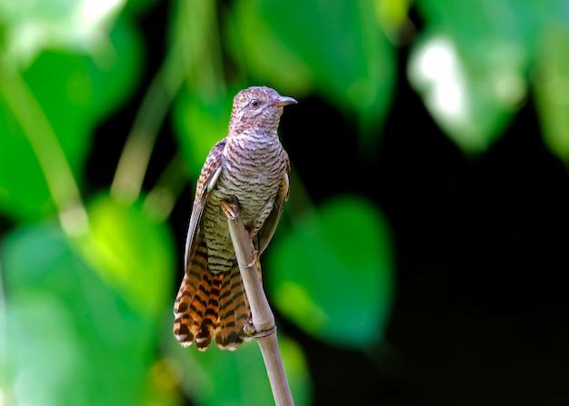 Żałosne kukułki cacomantis merulinus piękne kobiece ptaki z tajlandii