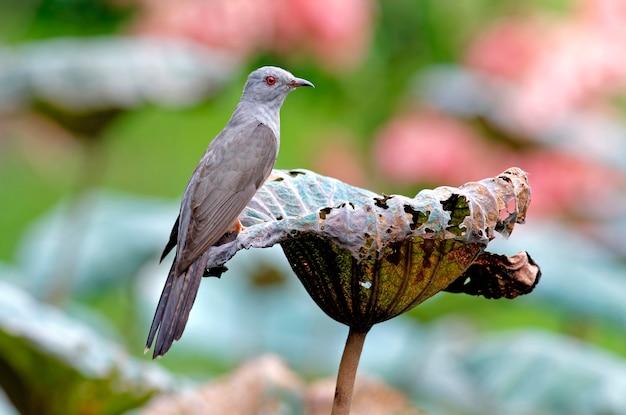 Żałosne kukułki cacomantis merulinus piękne męskie ptaki z tajlandii