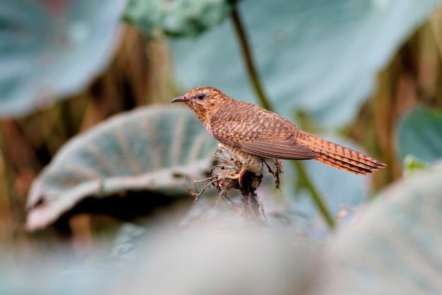 Żałosne kukułki cacomantis merulinus piękne żeńskie ptaki z tajlandii