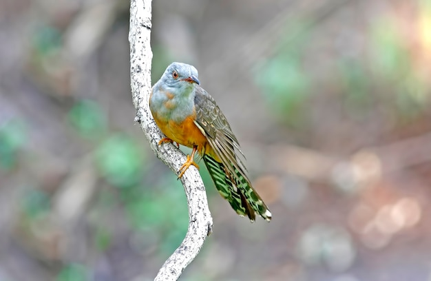 Żałosny kukułka cacomantis merulinus piękne samce ptaków tajlandii