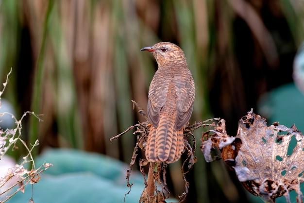 Żałosny kukułka cacomantis merulinus piękne samice ptaków z tajlandii
