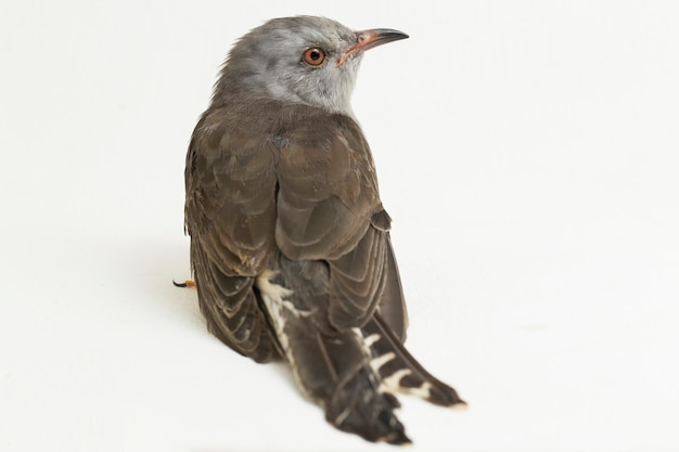 Żałosny ptak kukułka cacomantis merulinus na białym tle
