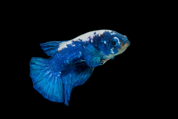 Założyli się ryba bojownik syjamski, niebieska panda na czarnym tle.