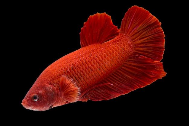 Założyli Się Ryby Super Czerwony Halfmoon Siamnese Fighting Fish Na Czarnym Tle Premium Zdjęcia