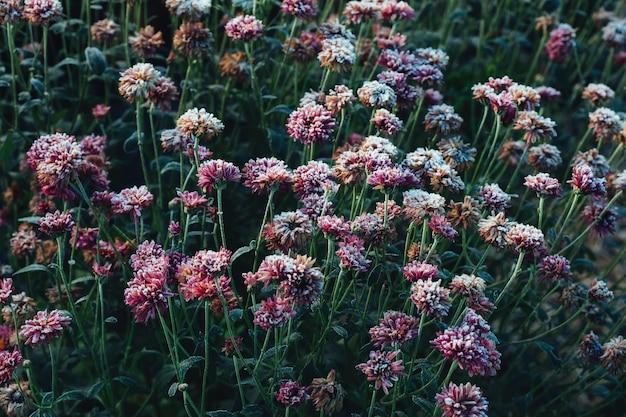 Zamarznięci kwiaty po nocnym mrozie w jesieni