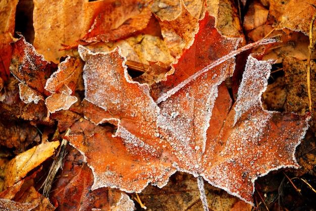 Zamarznięte jesienne naturalne liście kolorowe, czerwone, zielone, żółte liście.