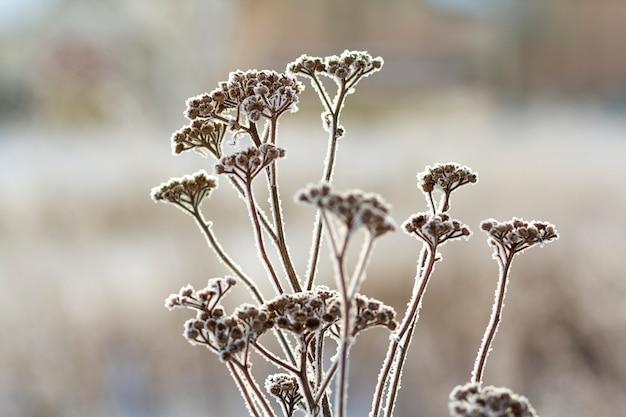 Zamarznięte rośliny w wczesnego poranku zakończeniu up w zimie