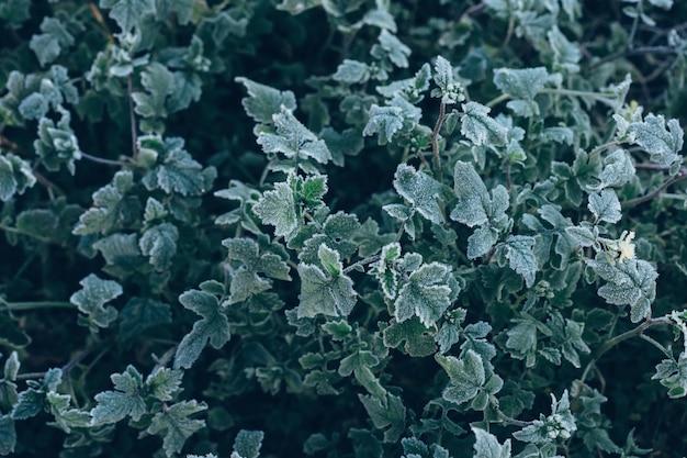 Zamarznięte zielone rośliny po nocnym mrozie w jesieni