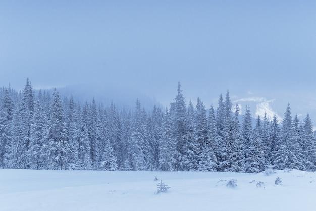 Zamarznięty zima las w mgle. sosna w naturze zakrywającej z świeżym śniegiem karpackim, ukraina