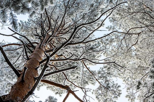 Zamarznięty zimowy las we mgle. zamknij się z sosny pokryte śniegiem na tle białego zimowego nieba