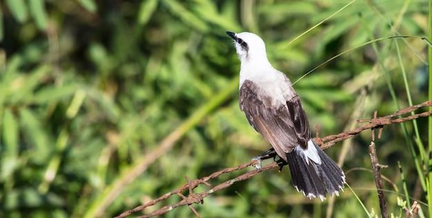 Zamaskowany ptak wodny tyran stojący na metalowym sznurku w lesie, patrzący na drzewa i rośliny