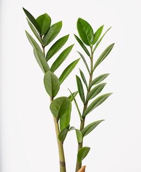 Zamioculcas zamifolia lub palmy aroid lub paproci arum egzotyczny zielony liść roślina domowa na białym tle na białym tle ze ścieżką przycinającą