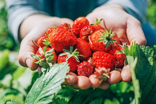 Zamknąć dojrzałe truskawki z ogrodu