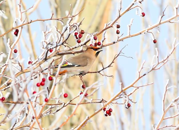 Zamknąć jemiołuszka siedzi na zaśnieżonej gałęzi z jagodami