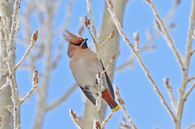 Zamknąć jemiołuszka siedzi na zaśnieżonej gałęzi