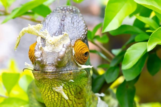 Zamknąć kameleona na gałęzi