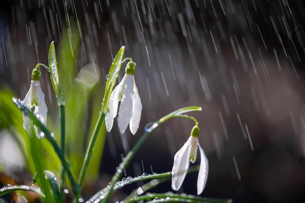 Zamknąć pierwsze wiosenne przebiśniegi (galanthus nivalis) deszczem i światłem. białe małe kwiaty w lesie
