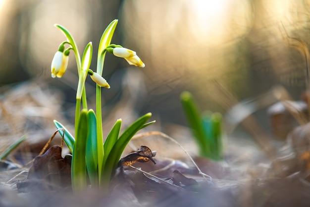 Zamknąć widok małych świeżych kwiatów przebiśniegów rosnących wśród suchych liści w lesie