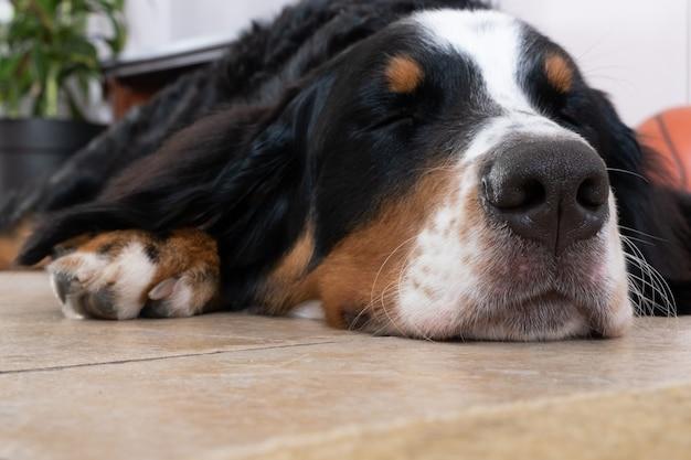 Zamknąć widok na spanie berneński pies pasterski leżącego na białej podłodze w domu. makro nos psa.