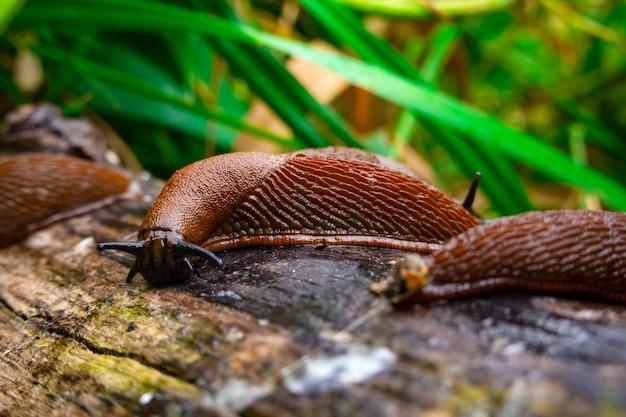 Zamknąć widok wspólnego brązowego hiszpańskiego ślimaka na drewnianym dzienniku na zewnątrz