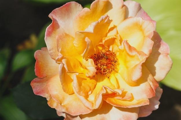 Zamknięta pomarańczowa róża w ogrodzie