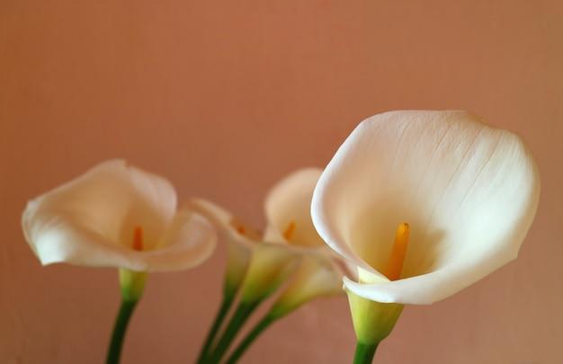 Zamknięte białe kwiaty lilii calla przed jasnobrązową ścianą