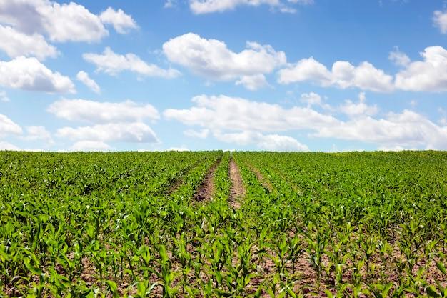 Zamknięte niebo chmury nad polem z zielonymi młodymi kiełkami kukurydzy rosnącymi w rzędach. letni lub wiosenny krajobraz