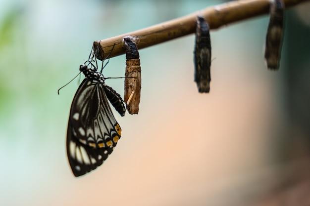 Zamknięte skrzydło motyla w pobliżu kokonów