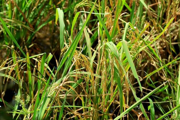 Zamknięte złote dojrzałe ziarna ryżu w słońcu, tajskie pole paddy