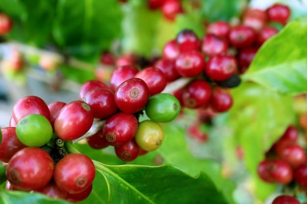 Zamknięto wiele żywych czerwonych dojrzewających czereśni kawy na gałęzi drzewa kawowego na plantacji