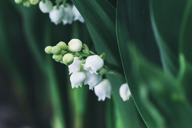 Zamknięty kwiatu konwalii kwiat