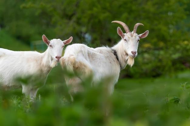 Zamknij dwie białe kozy stojące na zielonej trawie