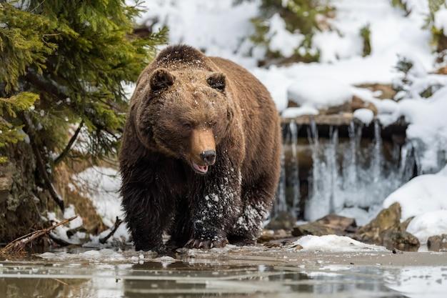 Zamknij dziki duży niedźwiedź brunatny w pobliżu leśnego jeziora