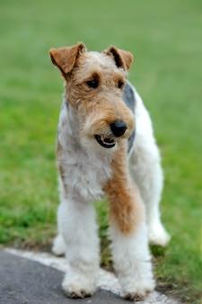 Zamknij foksterier pies w zielonej letniej trawie
