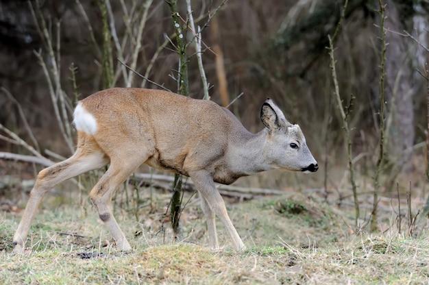 Zamknij jeleń w naturalnym środowisku jesienią