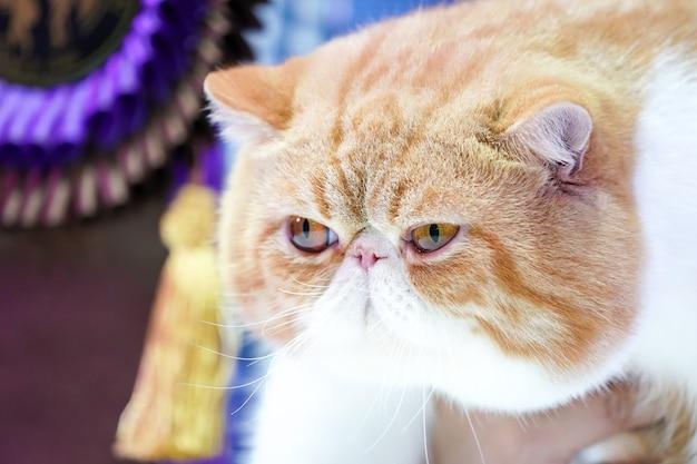 Zamknij krótką twarz kota perskiego, krótki nos i brązowe, pomarańczowe włosy z tygrysim wzorem.
